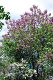 Lilac trees. Taken in Lilac garden in Moscow. Royalty Free Stock Photos