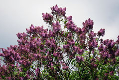 Lilac trees. Taken in Lilac garden in Moscow. Stock Image