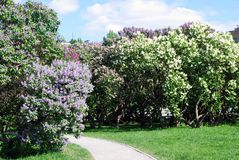 Lilac trees. Taken in Lilac garden in Moscow. Stock Images