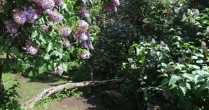 Lilac tuin in Moskou stock video