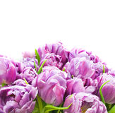 Lilac tulip flower in bloom Stock Image