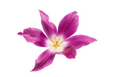 Lilac tulip isolated royalty free stock image