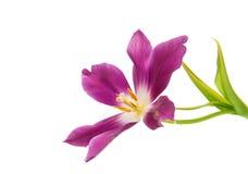 Lilac tulip isolated stock photo