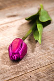 Lilac tulip Royalty Free Stock Photo