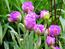 Lilac tulips. Beautiful peony tulips of lilac color after the rain Stock Photo