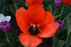 Red tulip on a bed. Royalty Free Stock Photography