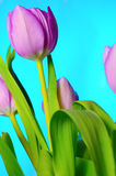 Lilac tulips. Stock Photo