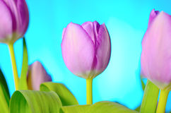 Lilac tulips. Royalty Free Stock Image