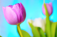 Lilac tulips. Stock Image