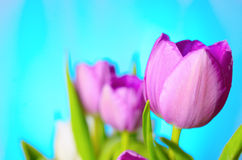 Lilac tulips. Royalty Free Stock Images