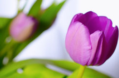 Lilac tulips. Royalty Free Stock Photos