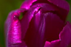 Lilac Tulips. Bud, petals, bouquet. close-up. Unopened lilac tulip bud close-up a decorative vase stand on a table. Russia, Moscow, holiday, gift, mood, nature Stock Photos