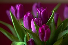 Lilac Tulips. Bud, petals, bouquet. close-up. Unopened lilac tulip bud close-up a decorative vase stand on a table. Russia, Moscow, holiday, gift, mood, nature Royalty Free Stock Images