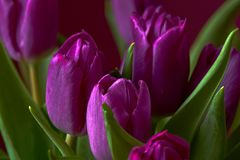 Lilac Tulips. Bud, petals, bouquet. close-up. Unopened lilac tulip bud close-up a decorative vase stand on a table. Russia, Moscow, holiday, gift, mood, nature Stock Images
