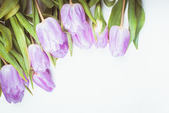 Lilac tulips isolated Stock Photos