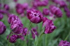 Lilac tulips. one tulip in an environment of others. macroshooting royalty free stock photos