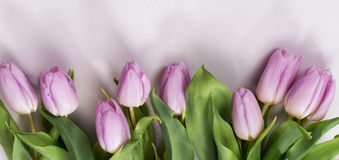 Lilac tulips on a white background Royalty Free Stock Photo
