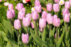 Lilac tulpen Royalty-vrije Stock Foto