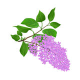 Lilac twig with flowers and leaves vintage hand draw natural background vector Royalty Free Stock Image