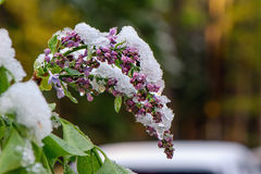 Lilac under ice. Budding & blooming Lilac flowers caught in an unexpected late spring snowfall. A reminder to gardeners against planting too early in the stock photography