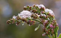 Lilac under melting ice. Budding & blooming Lilac flowers caught in an unexpected late spring snowfall. A reminder to gardeners against planting too early in the royalty free stock images