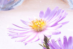 Lilac Underwater Flower Stock Image