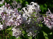 Lilac. Usually in lilac looking flowers with five petals to make a wish Stock Photos