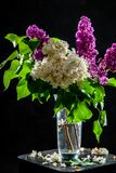Lilac in vase on the black background royalty free stock images