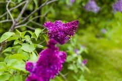 Lilac vermelho Fotos de Stock
