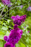 Lilac vermelho Imagens de Stock