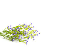 Lilac or violet colored flowers isolated on white background. Stock Image