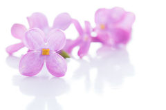 Lilac violet flowers isolated Stock Photo