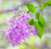 Lilac violet flowers Royalty Free Stock Images
