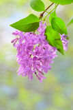 Lilac violet flowers Stock Photography