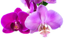 Lilac and violet orchids is isolated Royalty Free Stock Image