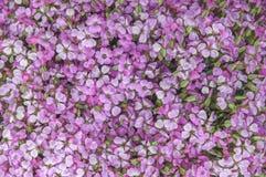 Lilac violette bloemen, vatten zachte bloemenachtergrond samen Royalty-vrije Stock Foto