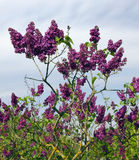 Lilac wait rain Royalty Free Stock Photos