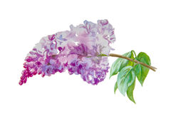 Lilac. Watercolor handdrawing blooming  lilac branch isolated on white background stock illustration