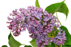 Lilac on white Stock Photos
