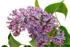 Lilac on white Stock Photos
