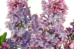 Lilac on white Royalty Free Stock Image