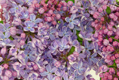 Lilac on white Stock Images
