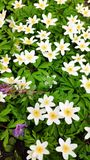 Lilac and white anemone in a Botanical Garden, one of the first flowers in spring, soft focus.  royalty free stock photo