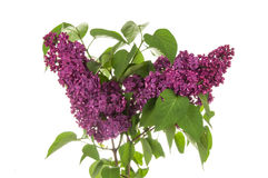 Lilac on the white background Stock Photos
