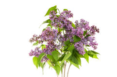 Lilac on the white background Royalty Free Stock Images