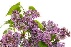Lilac on the white background Royalty Free Stock Photo