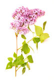Lilac on a white background Royalty Free Stock Image