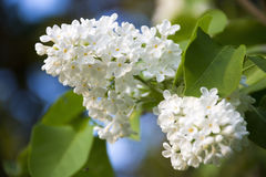 Lilac white blooming luxuriously. Royalty Free Stock Photos