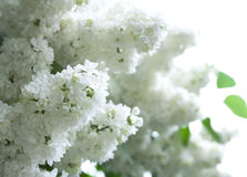 Lilac white flowers Royalty Free Stock Photo