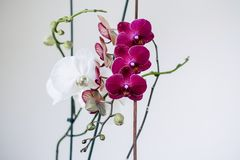 Lilac and white orchids. Inflorescence of purple and white orchid flowers on the branches with leaves. stock photos